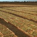 Kadota dry yard planada