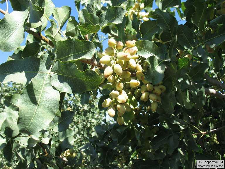 Pictorial Guide To Fruit And Nut Crops Grown In Merced County